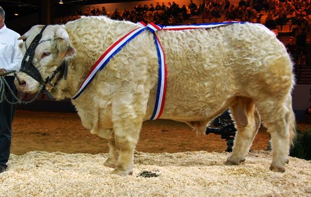 File taureau charolais salon de l 39 agriculture de paris for Salon agriculture paris 2015