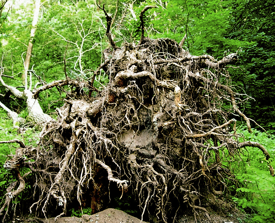 Image result for uprooted tree