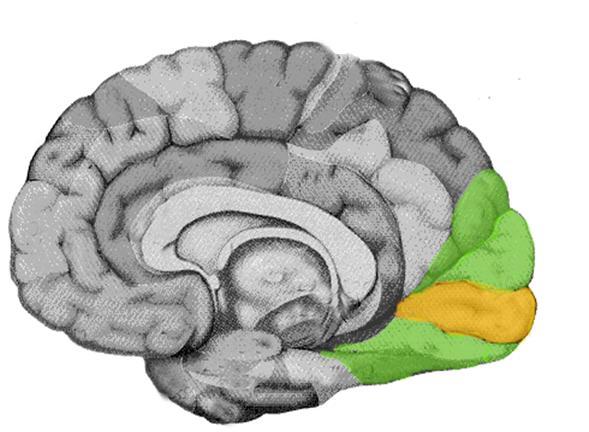 Resultado de imagen de cortex visual