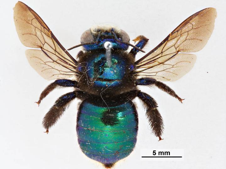 https://upload.wikimedia.org/wikipedia/commons/7/77/Xylocopa_bombylans_f.jpg