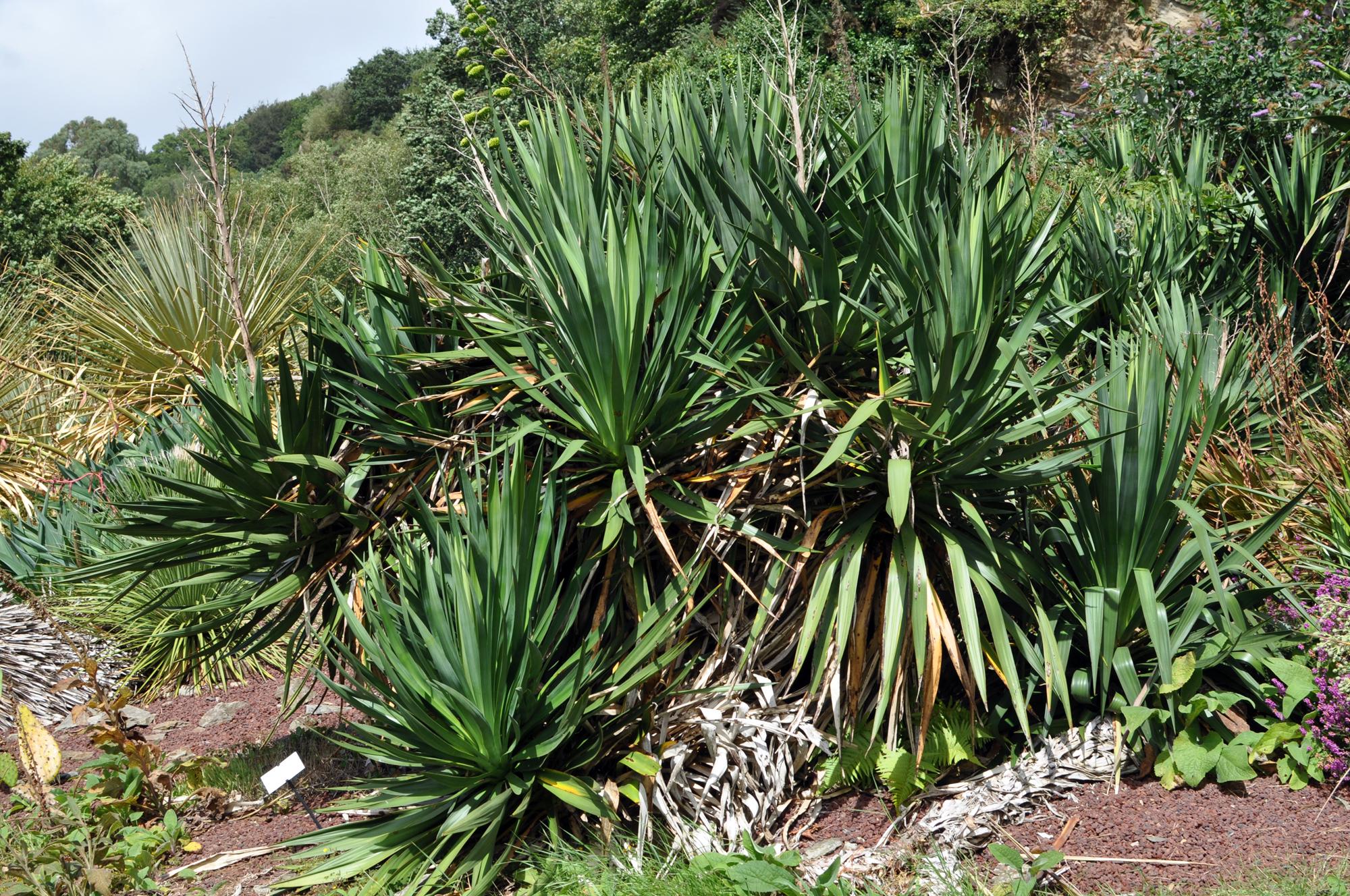 file yucca gloriosa wikimedia commons