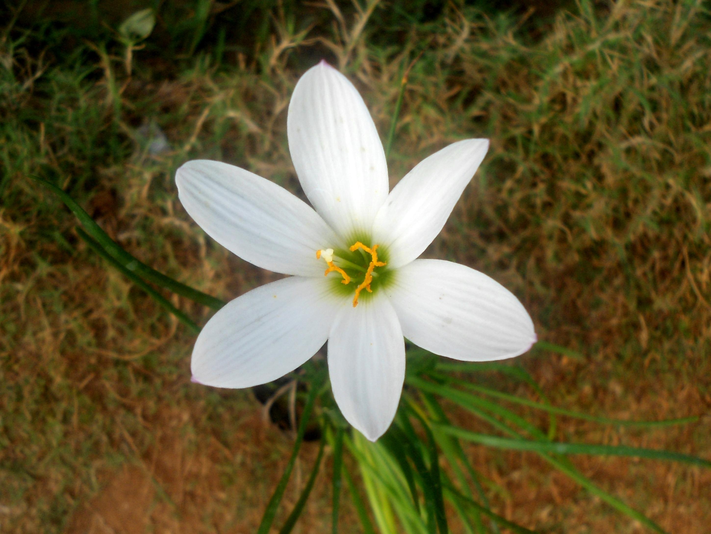 Filezephyranthes Candida White Ginger Lily At Marikavalasag