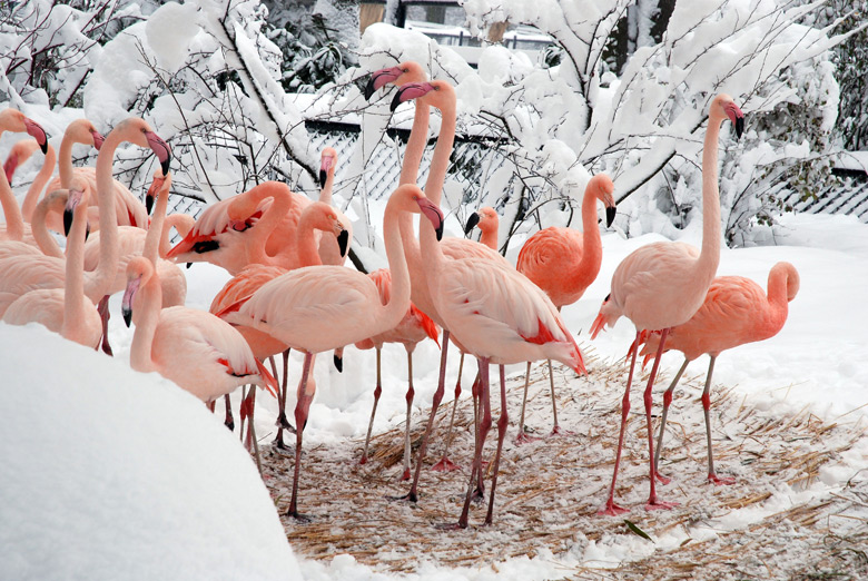 Flamands roses du zoo de Cracovie en hiver. Photo de Palukopa