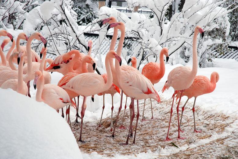 Flamands roses du zoo de Cracovie en hiver. Photo de Palukopa