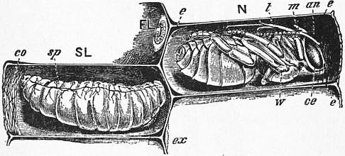 1911 Britannica - Bee - Larva and Pupa.png