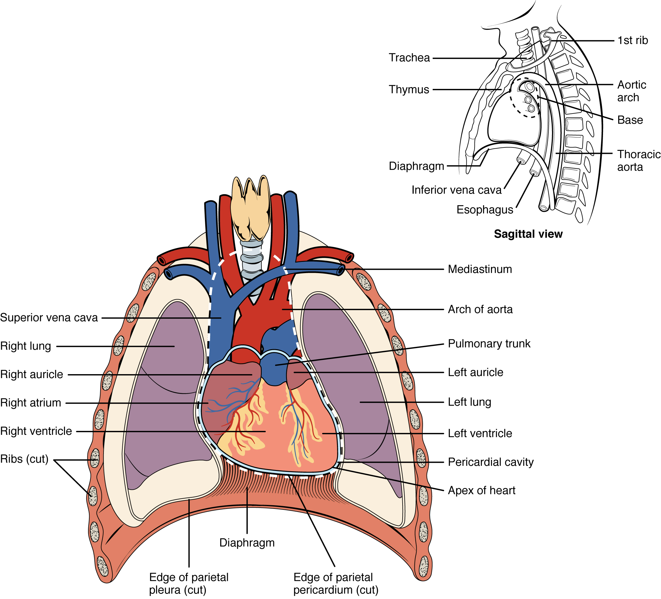 Heart Anatomy Wiki Images - human body anatomy