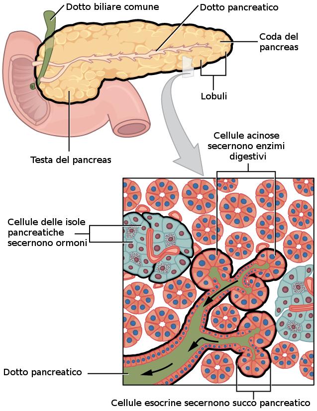 2424_Exocrine_and_Endocrine_Pancreas-it.jpg