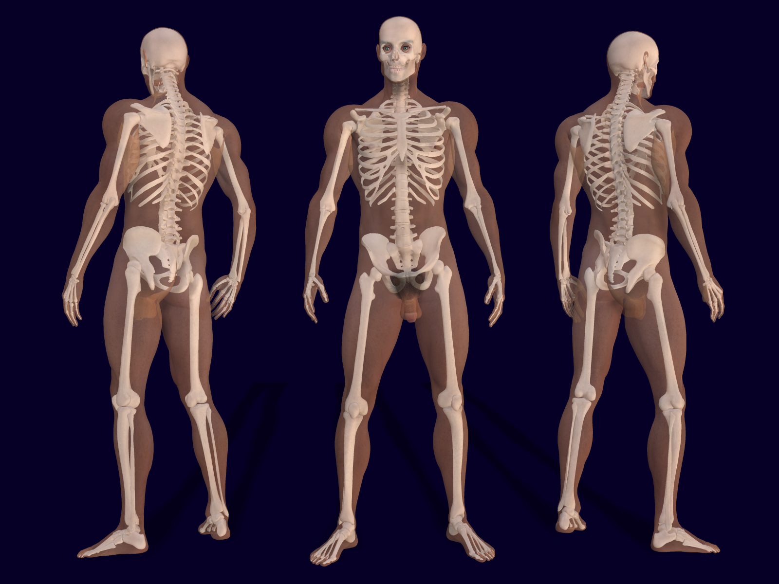 File3d Male Skeleton Anatomyg Wikimedia Commons