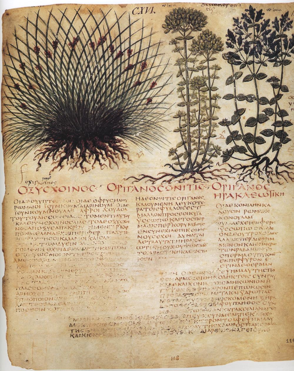 Una pagina del Dioscoride (VII secolo), Biblioteca Nazionale di Napoli, Cod. Gr. 1