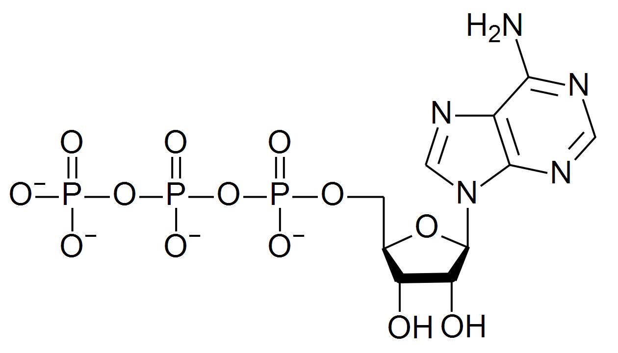 ATP, adenosintrifosfato