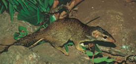 Madras treeshrew species of mammal