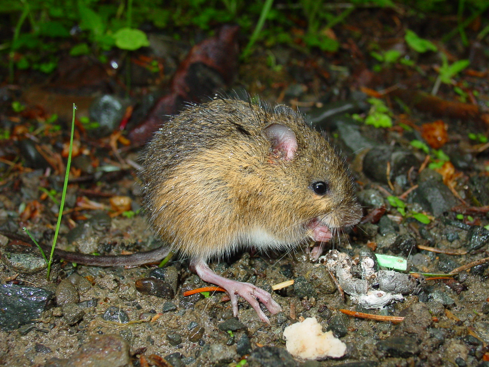 Environmental Groups Sue U.S. Forest Service to Protect Endangered Jumping Mouse