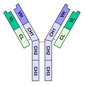 Diagram illustrating the disulfide bonds (red) that link the light (green) and heavy (blue) protein subunits of Immunoglobulin G (IgG)molecules. This diagram also illustrates the relative positions of the variable (V) and constant (C) domains of an IgG molecule. The heavy and light chain variable regions come together to form antigen binding sites at the end of the two symmetrical arms of the antibody.