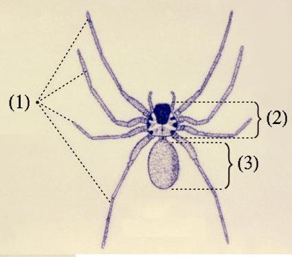 クモ類の外部形態:1:脚、2:頭胸部(前体)、3:腹部(後体)