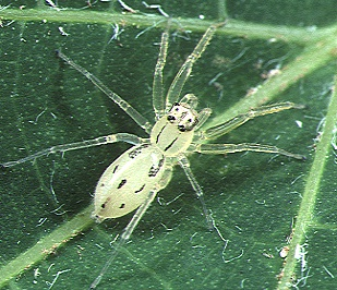 <i>Asemonea</i> genus of arachnids