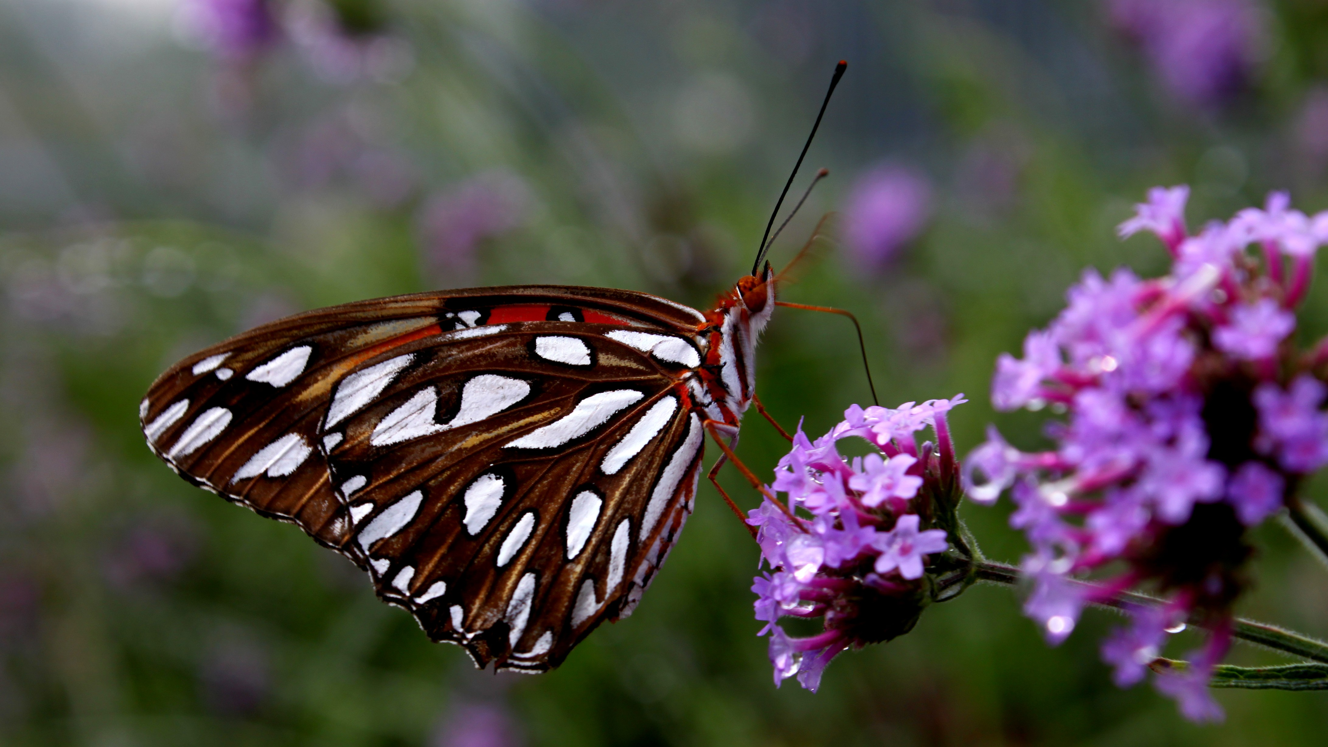 Beutiful file:beutiful butterfly - wikimedia commons