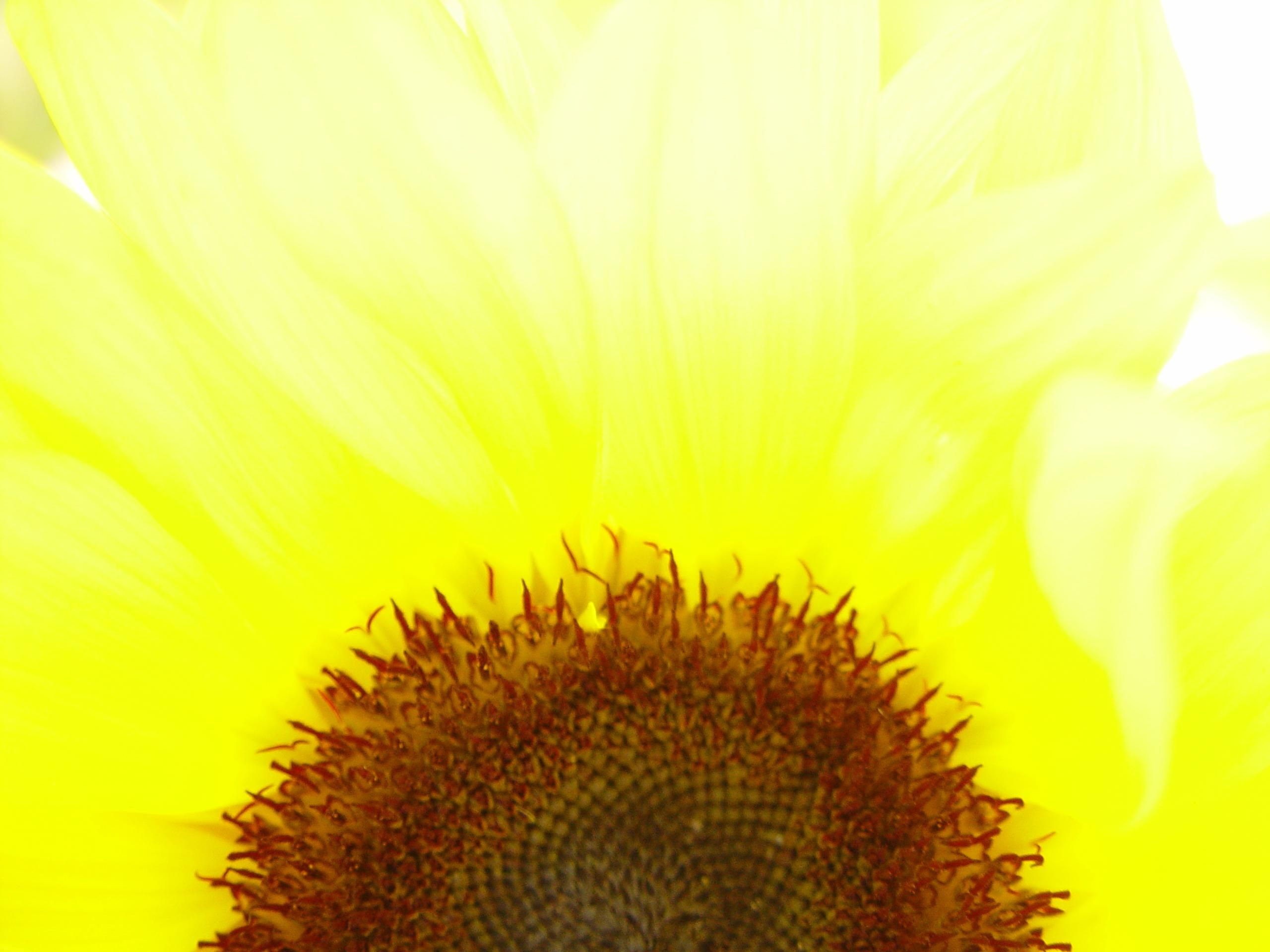 Sunflower Macro Photography Stock Photo Picture And Royalty Free