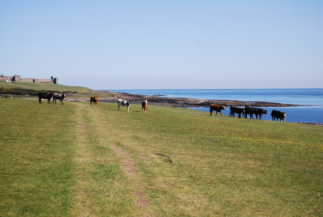 Cattle, St Oswald's Way - geograph.org.uk - 2575648