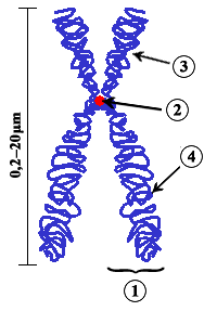 Chromosome regions - Wikipedia