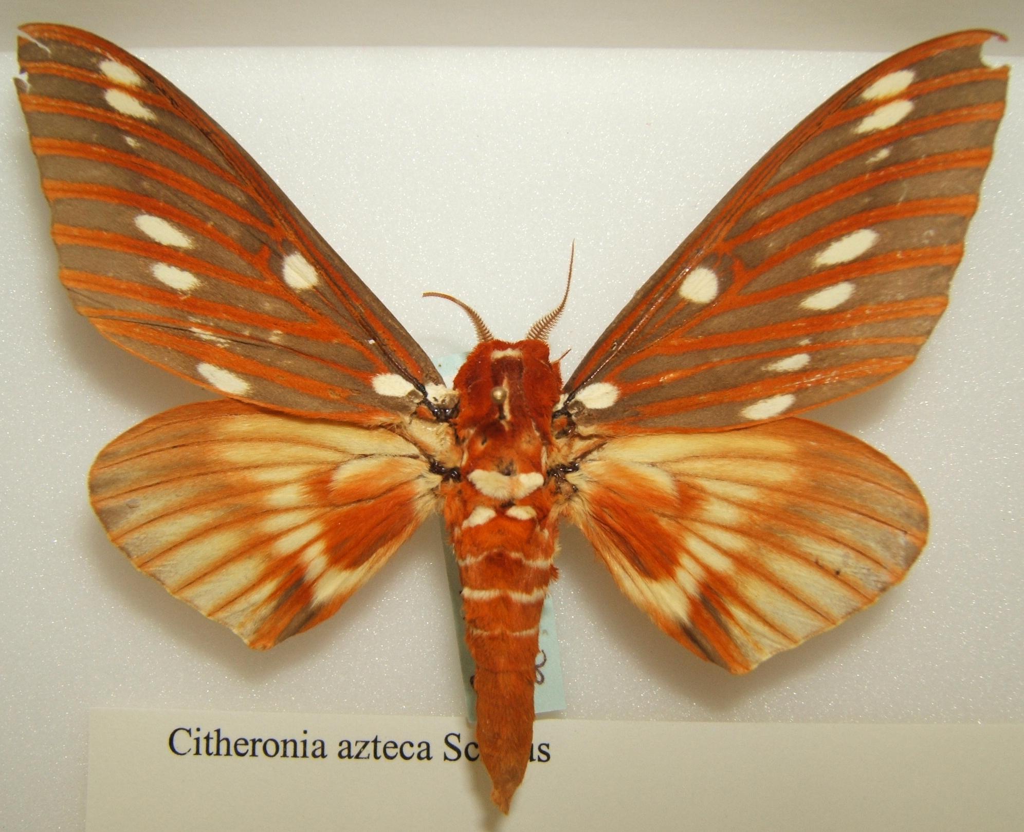 Sưu tập Bộ cánh vẩy  - Page 19 Citheronia_azteca_male_sjh