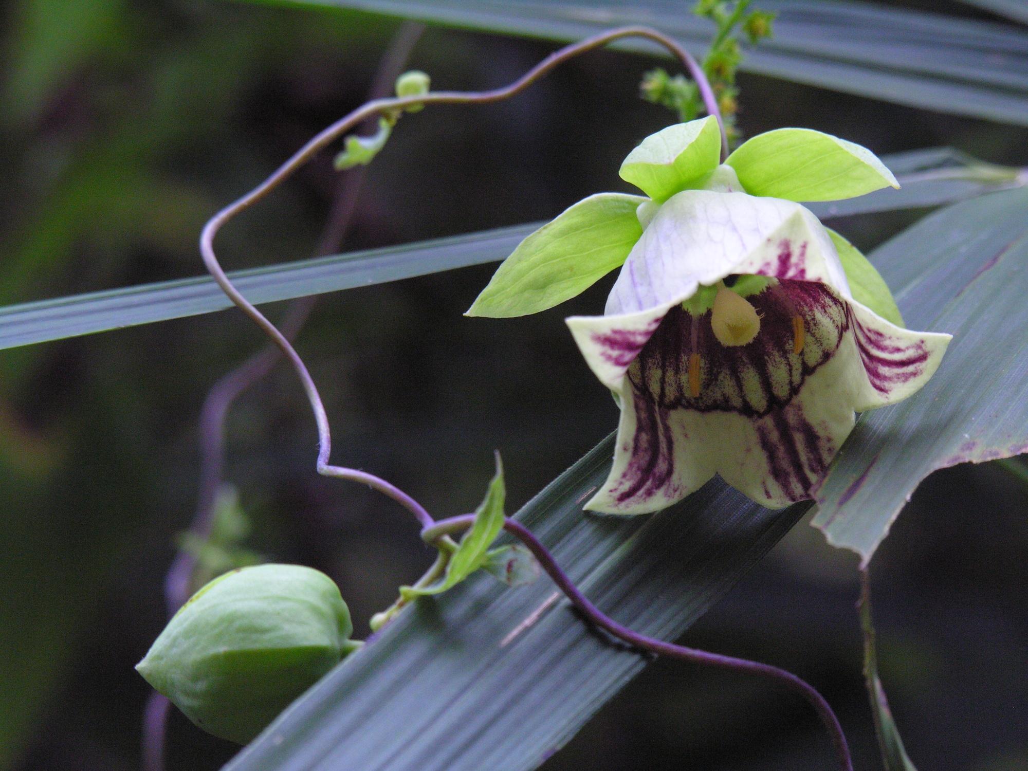 File codonopsis lanceolata dscn9077 jpg wikimedia commons for Country plans com
