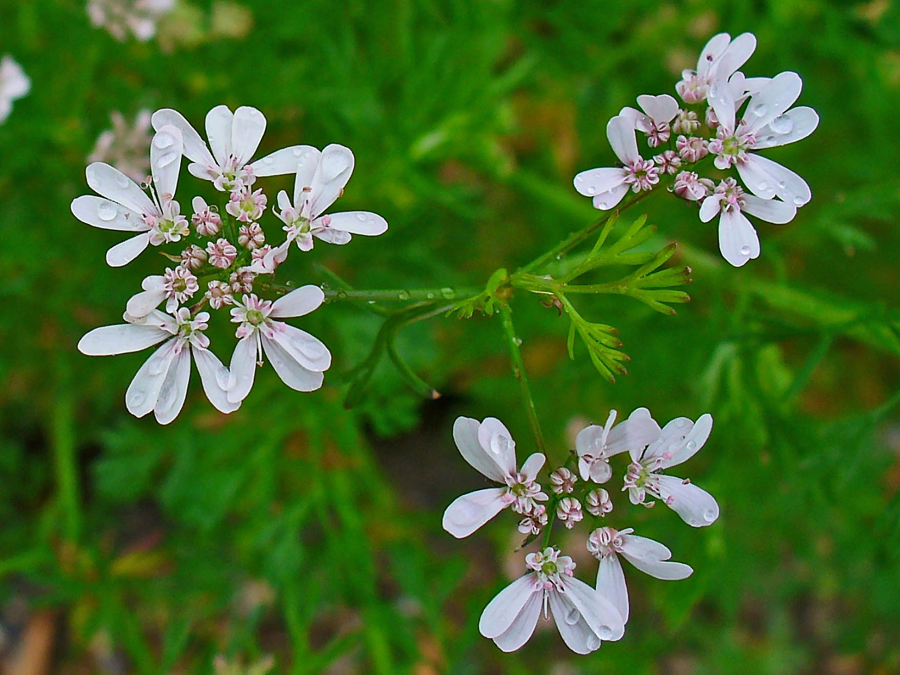 File coriandrum sativum 002 jpg wikimedia commons for Jardin aromatique