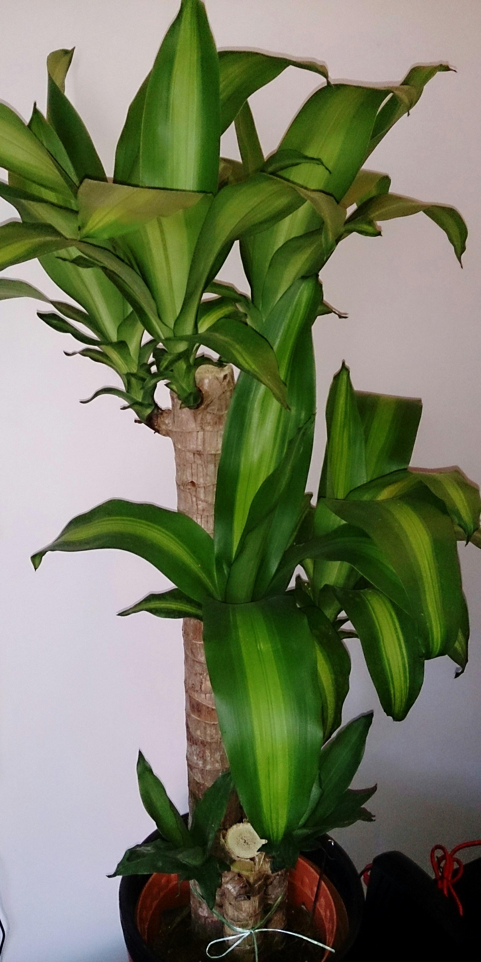file corn plant dracaena fragrans 39 massangeana 39 jpg wikimedia commons. Black Bedroom Furniture Sets. Home Design Ideas