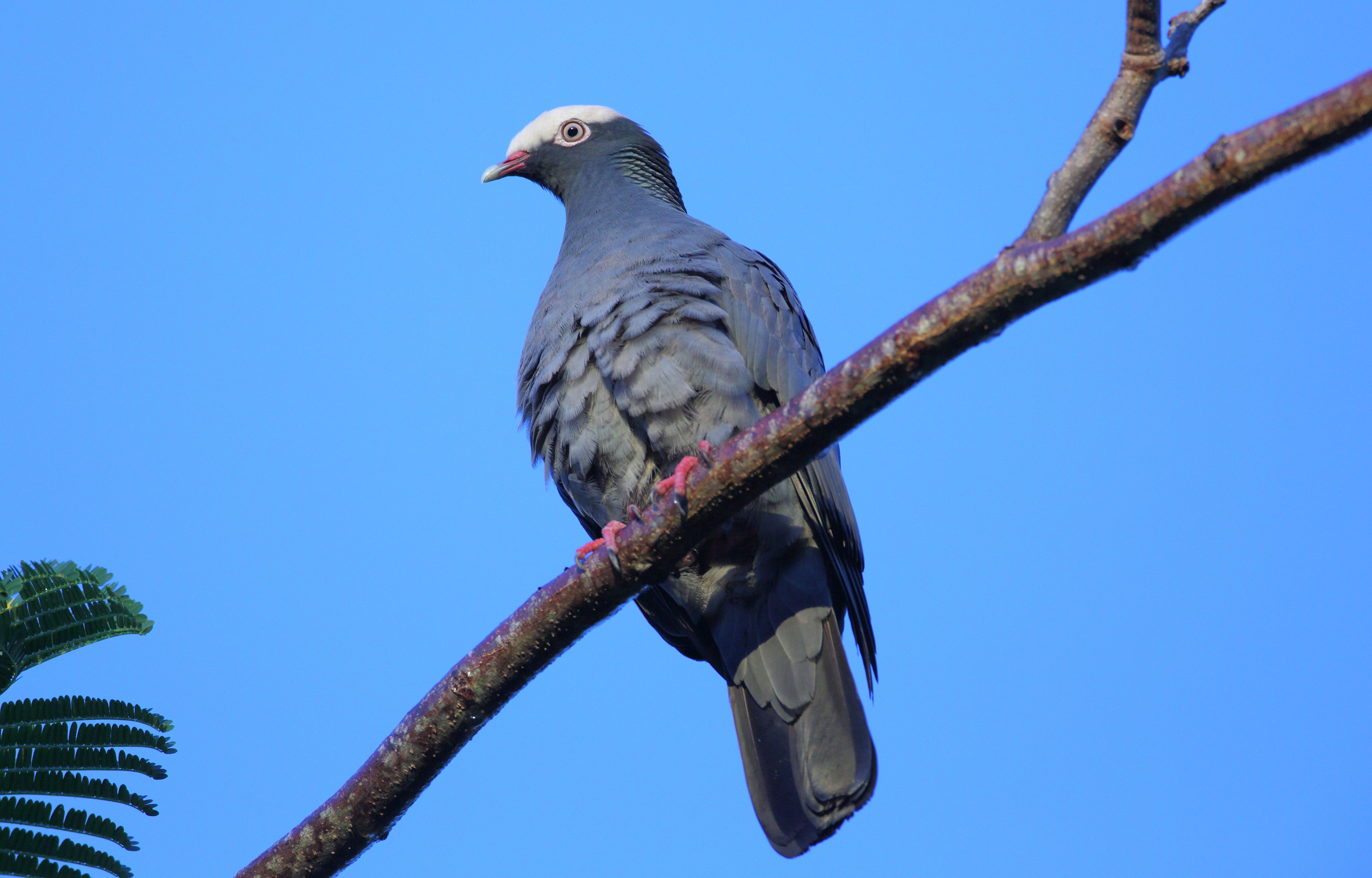 White crowned pigeon - photo#12