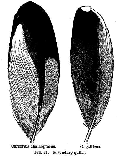FIG. 21.—Secondary quills.