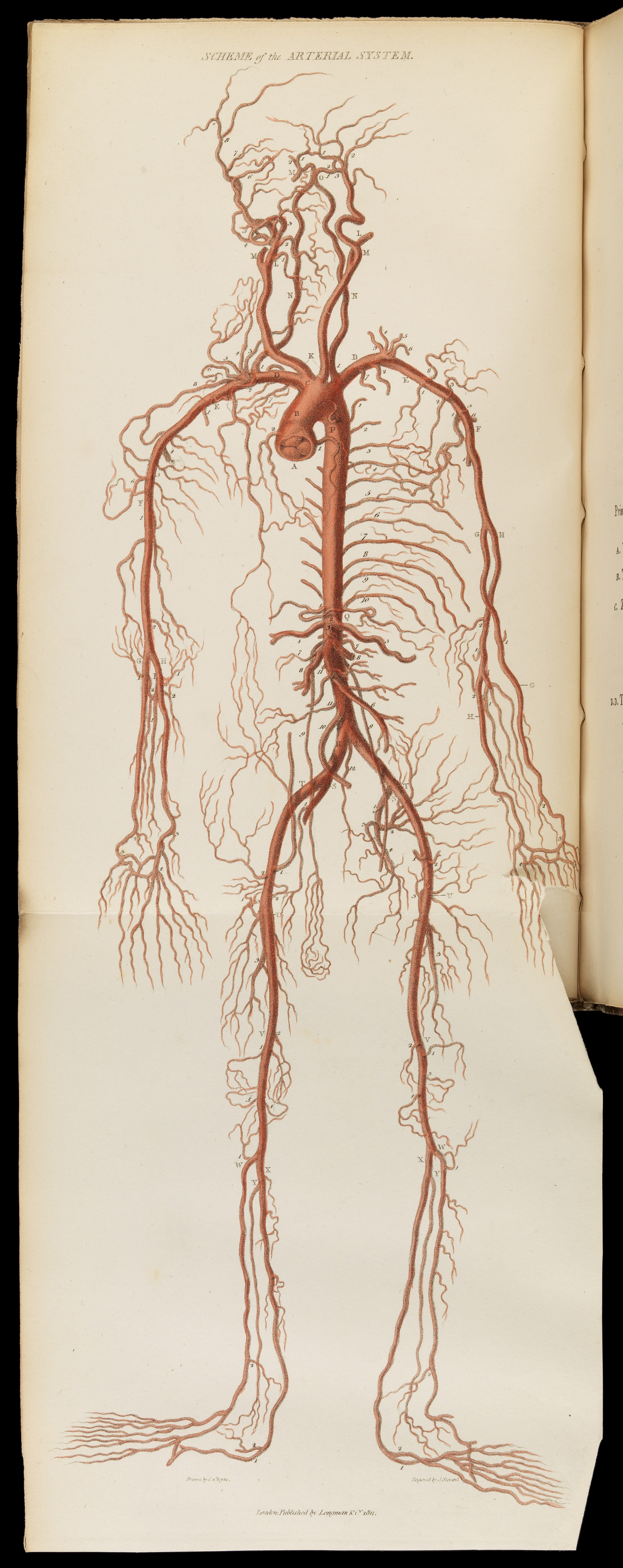 File:Drawing to show scheme of arterial system Wellcome L0067216.jpg ...