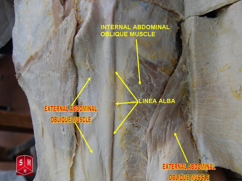 Fileexternal Abdominal Oblique Muscle 2g Wikipedia