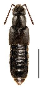 Gnypeta crebrepunctata