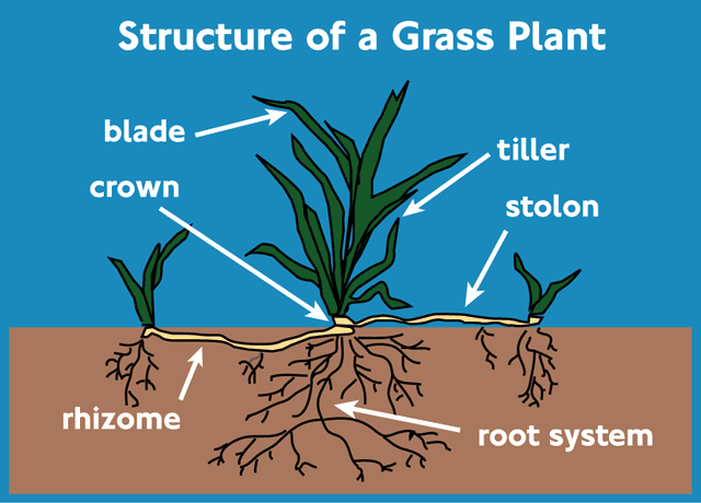 Image result for grass plant structure
