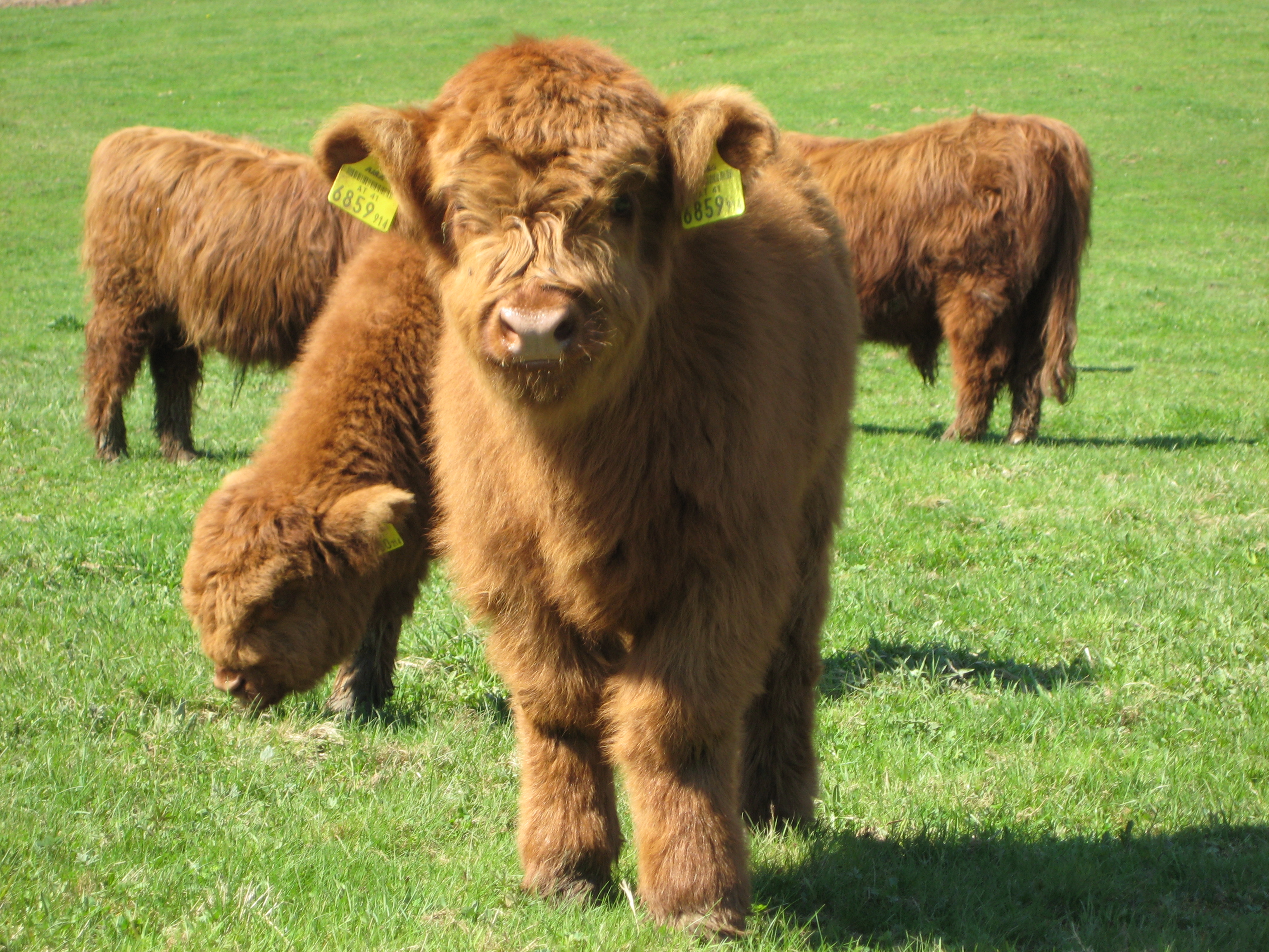 File Highland Cattle 4...