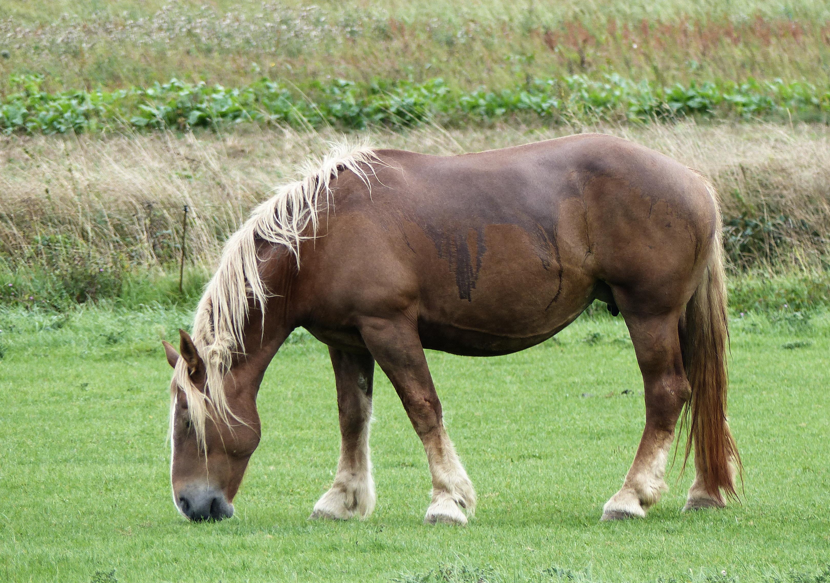 Pregnant mare grazing