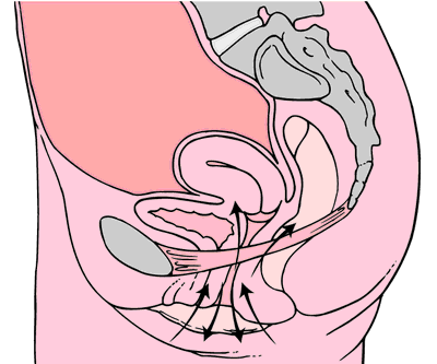 Illustration of the pelvic floor area of the body with arrows highlight Kegel exercise movement