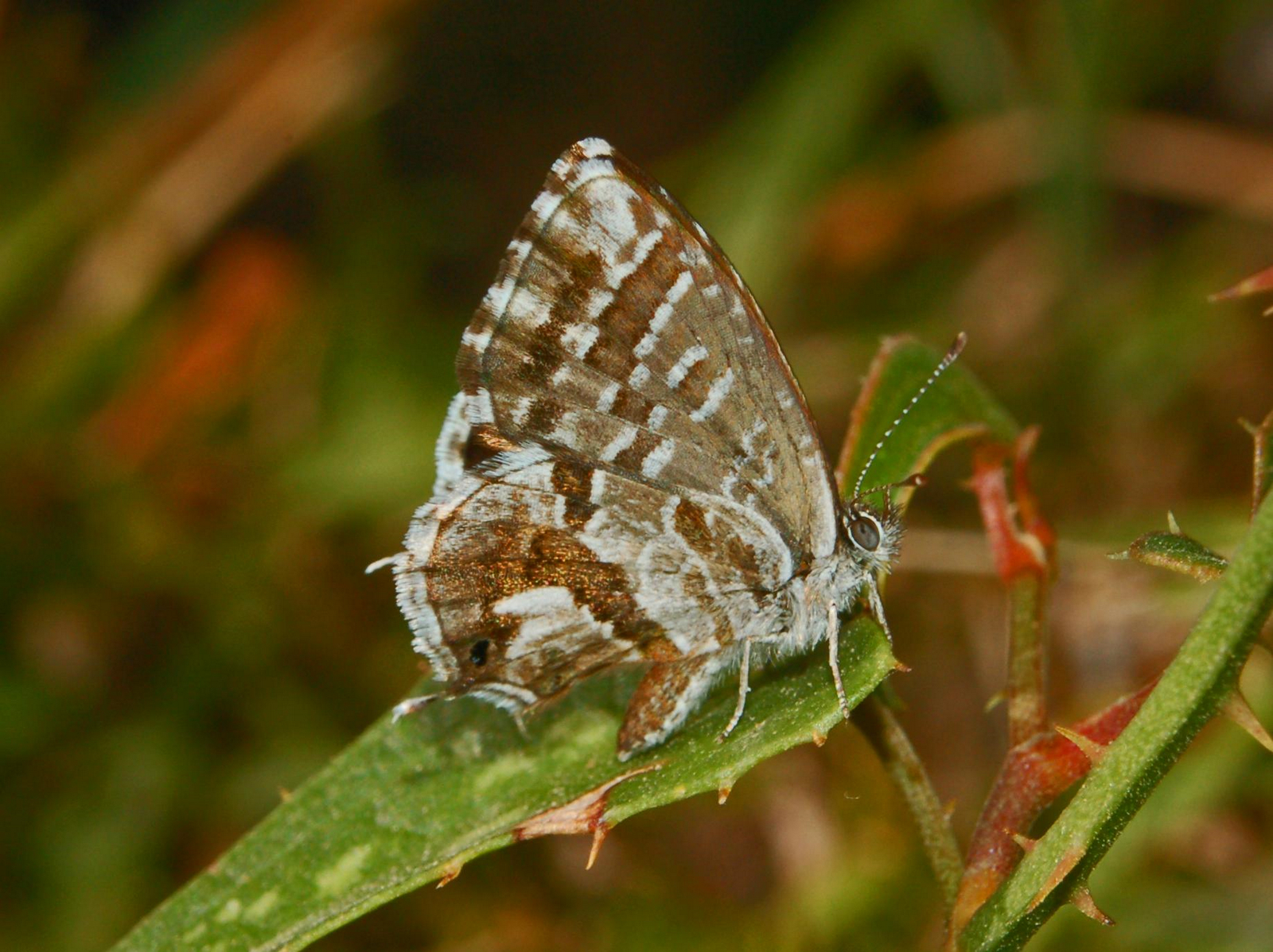 file lycaenidae cacyreus marshalli jpg wikimedia commons