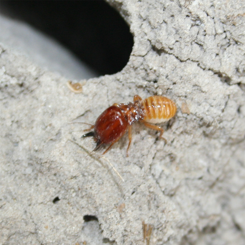 Termite Soldier Types a Soldier Termite