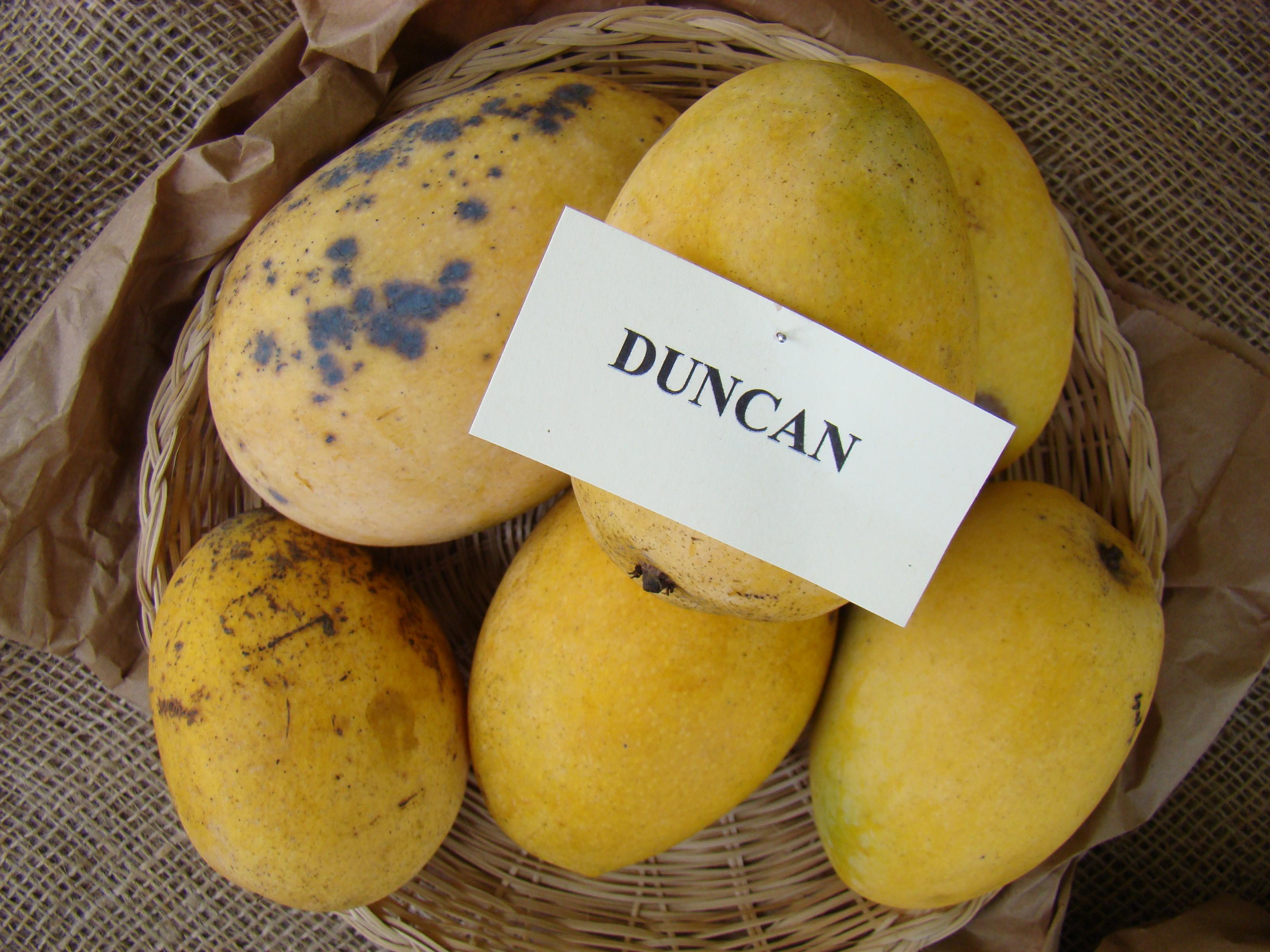 Come Piantare Il Mango duncan (mango) - wikipedia