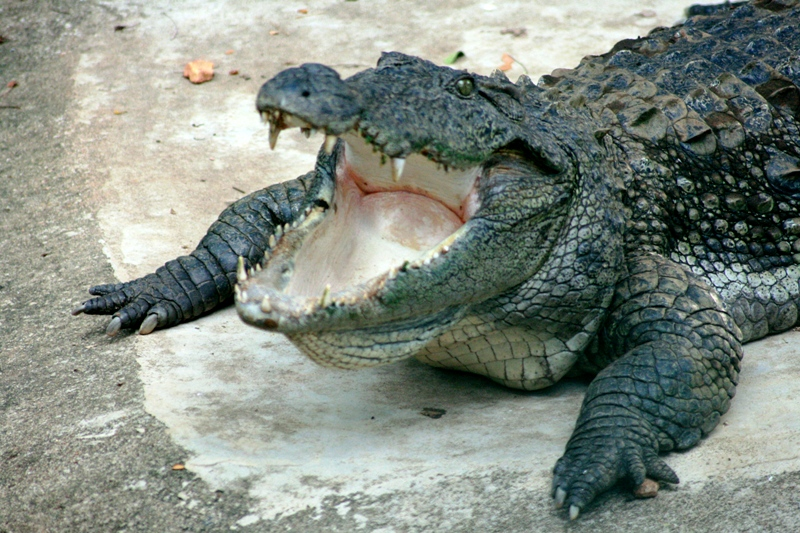 Definition alligator francais