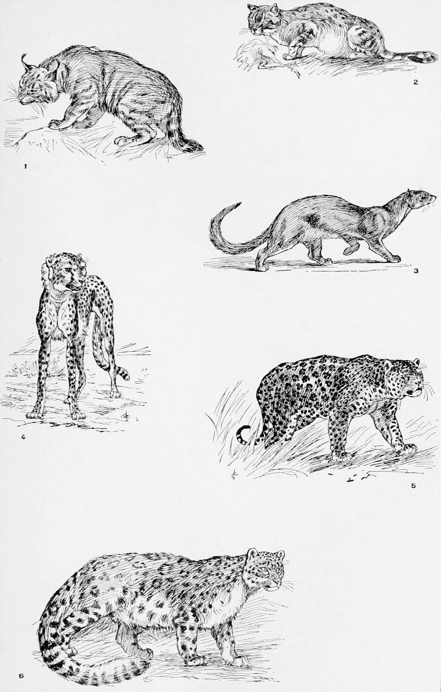 File:NIE 1905 Cat - wild cats.jpg - Wikimedia Commons