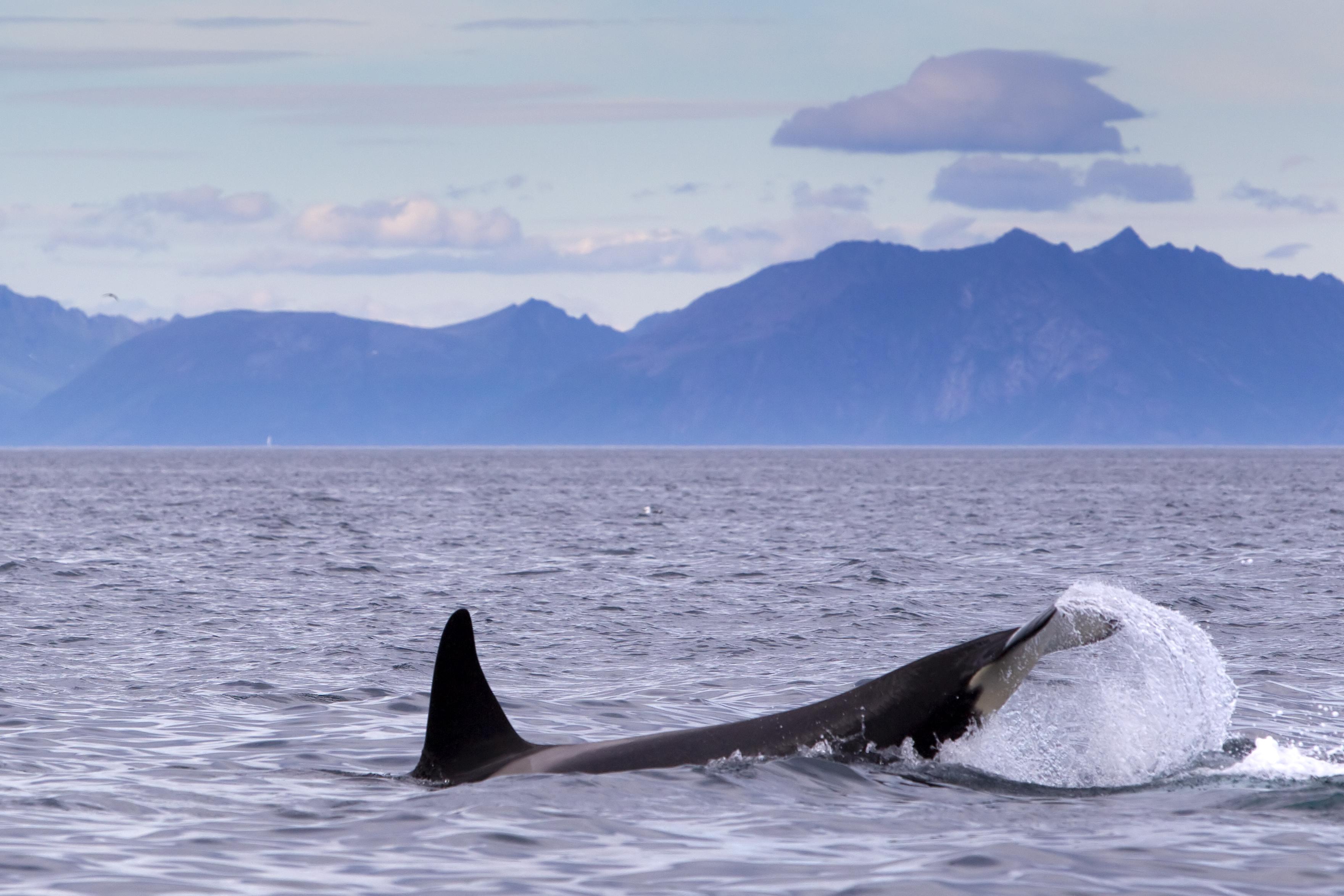 Whale in Arctic Ocean
