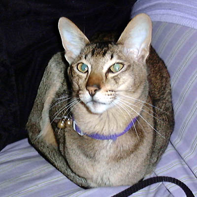 Oriental Shorthair Cats Youtube