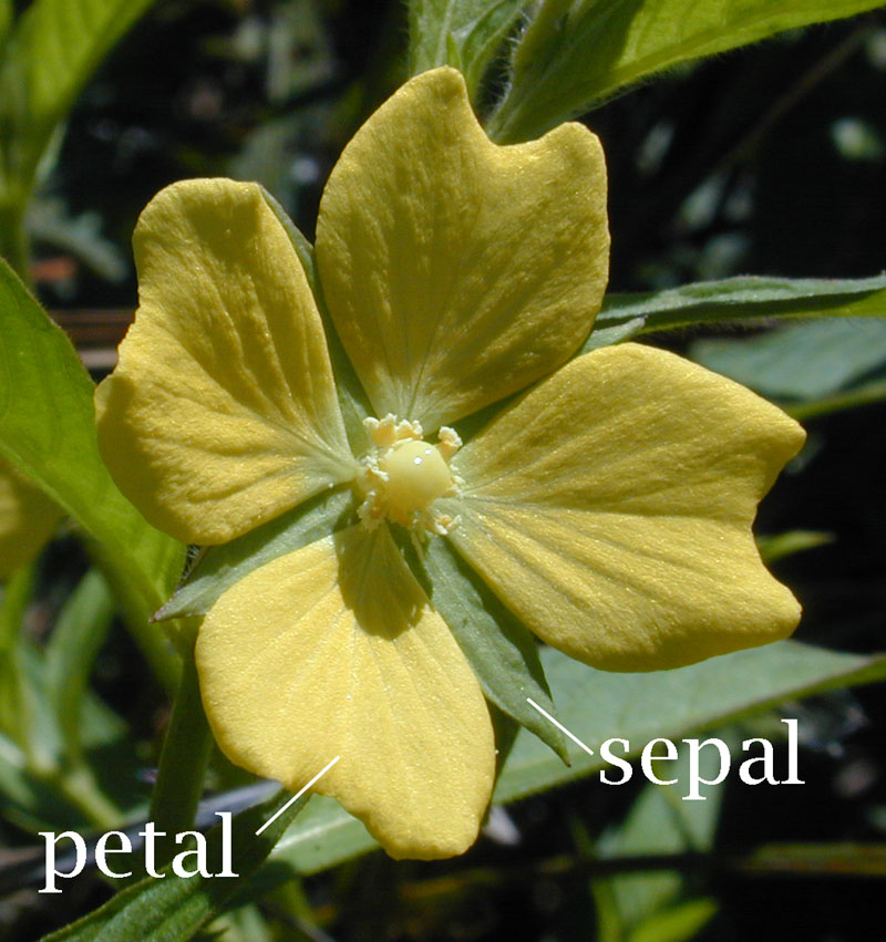 septal of a flower