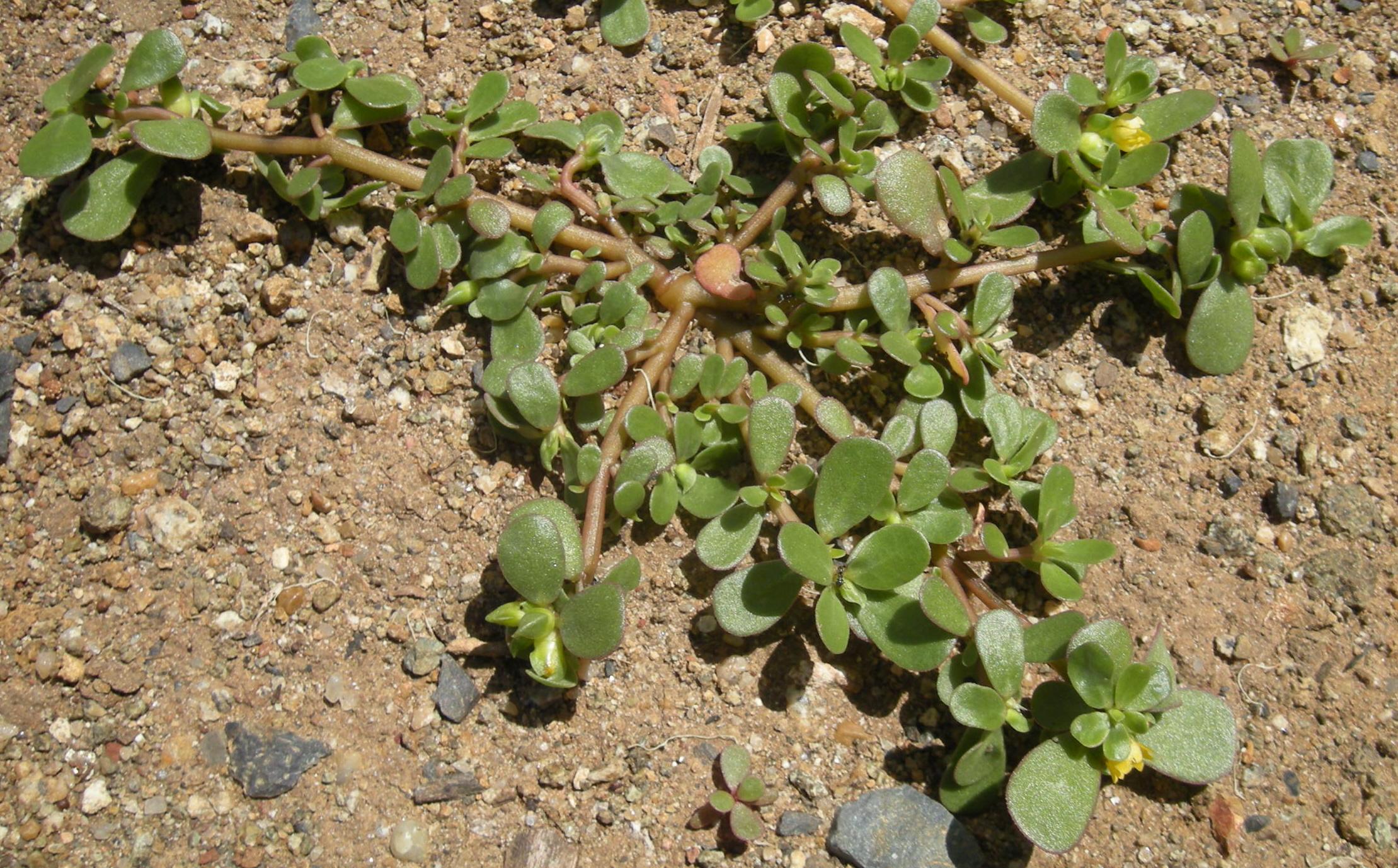 רגלת הגינה צמח מאכל שגדל בר מעולה לבריאות