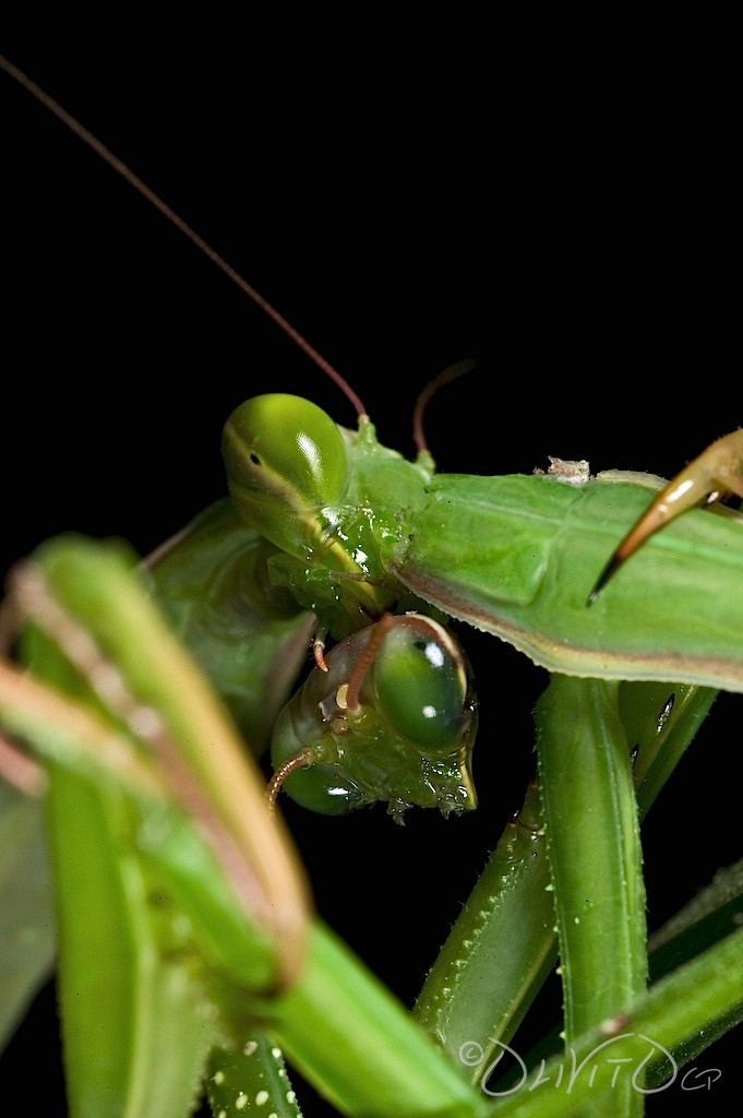 Praying_Mantis_Sexual_Cannibalism_Europe