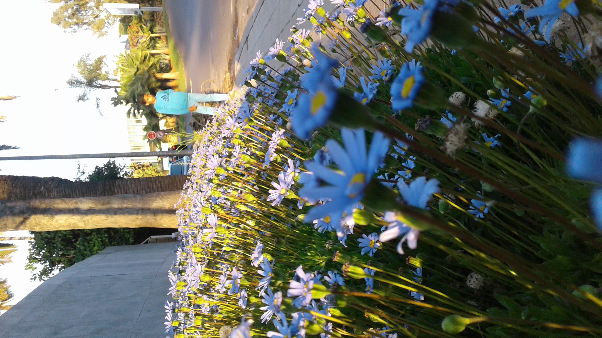 Filepurple jasmine flower and cousing wikimedia commons filepurple jasmine flower and cousing izmirmasajfo