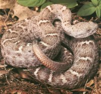 <i>Crotalus willardi obscurus</i> subspecies of reptile