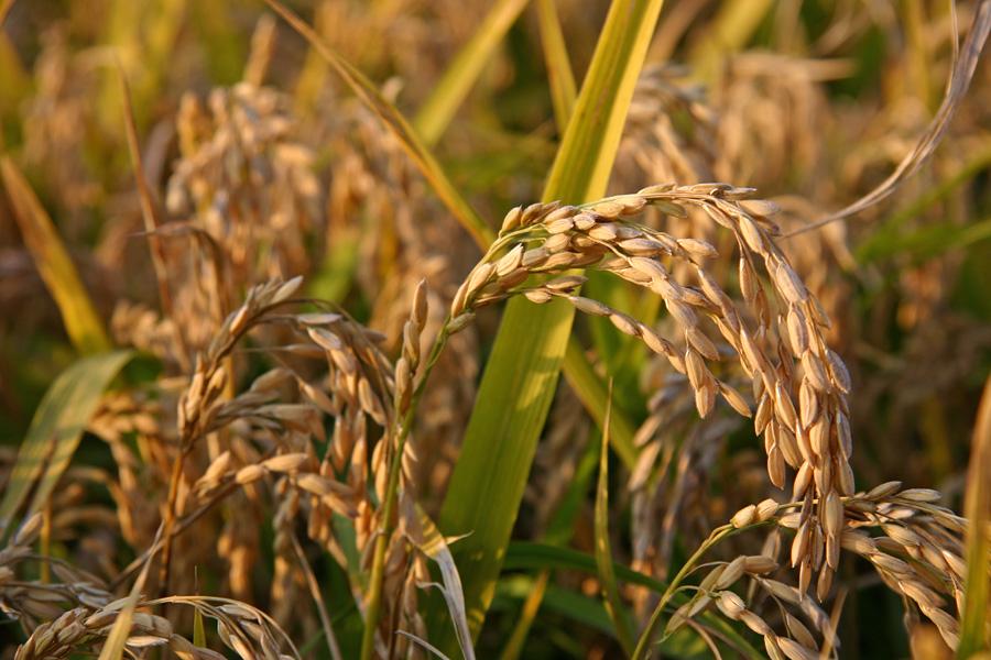 Pannocchie di riso a maturazione