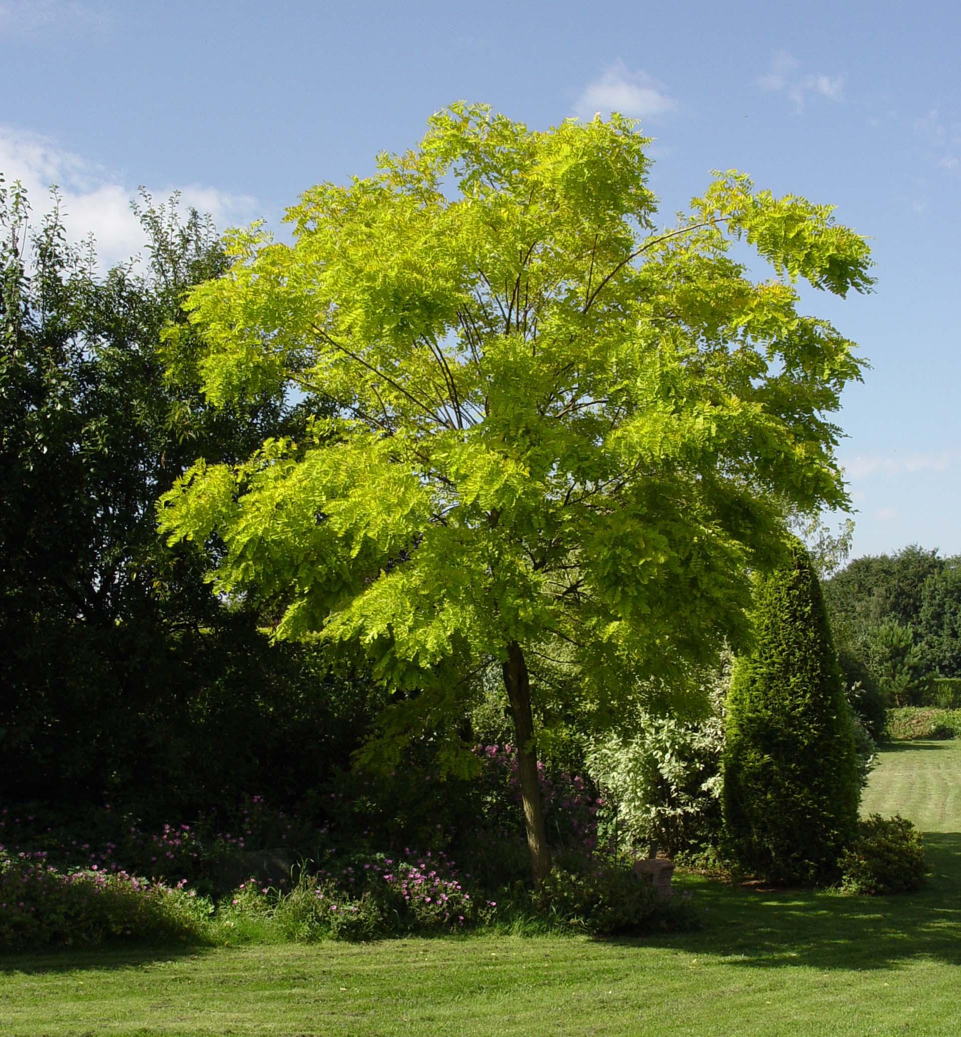 File robinia pseudoacacia wikimedia commons for Acacia albero